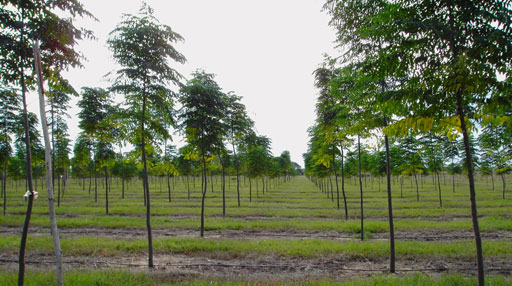 for Arboles perennes de crecimiento rapido
